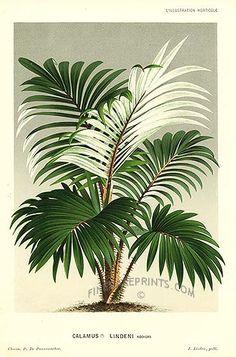 Antique print: picture of Palm Tree - Calamus lindeni, Malaysia