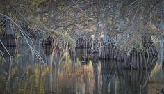 Reflections in cypress