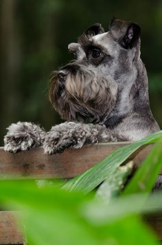Ranked as one of the most popular dog breeds in the world, the Miniature Schnauzer is a cute little square faced furry coat. Schnauzers, Miniature Schnauzer Puppies, Schnauzer Puppy, Baby Dogs, Pet Dogs, Dog Cat, Beautiful Dogs, Animals Beautiful, Cute Animals