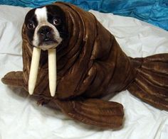 This is a picture of Echo dressed in her Halloween costume as a walrus. She is a 7 year old Boston Terrier and we have been doing homemade costumes fo...