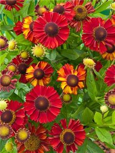 Helenium 'Hot Lava'- A new long flowering upright stocky Helenium. Produces a constant flow of large disk shaped bicolour flowers on sturdy 80-90cm stems from July to October. As the name suggests the plants add a warmth to your summer borders. Spread 50cm