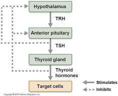 Tropic hormones are hormones that control the release of other hormones.   Therefore, use of tropic hormones allows amplification of original signal can cause a large release of the next hormone, and control of hormone release by the brain. Thyrotropin Releasing Hormone causes the anterior pituitary to secrete Thyroid Stimulating Hormone into the blood.Prolactin Releasing Hormone is a tropic hormone released by the hypothalamus that causes the the anterior pituitary to release its hormone…