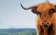 Wallpaper Desktop Background Cow  (22)