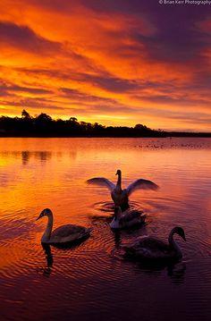 Swan Lake - Sunrise Castle Loch, Lochmaben near Dumfries.