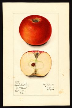 apple-01034 0833-Malus domestica-Royal Limbertwig      ...  botanical floral botany natural naturalist nature flowers flower beautiful nice flora plants blooming ArtsCult.com Artscult ArtsCult vintage printable public domain 300 dpi commercial use 1800s 1700s 1900s Victorian Edwardian art clipart royalty free digital download picture collection pack paintings scan high qulity illustration old books pages supplies collage wall decoration ornamen