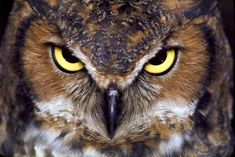 Attachment browser: Great-Horned-Owl-flat-best-.jpg by Buzz Bomb - RC Groups