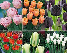 RHS award winning tulips Guaranteed to produce magnificent blooms next spring that will attract admiring glances. Plant in tubs or borders for an annual spring show . Crocosmia, Gladiolus, Garden Shop, Tubs, Daffodils, Bloom, Lily, Gardens, Inspired