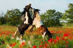 Gypsy cob stallions fighting in the field of poppies