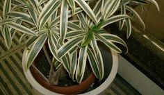 10 Best Plants to Grow Indoors for Air Purification Red Edged Dracaena