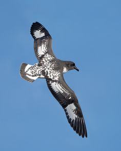 Cape Petrel (Daption capense) - a seabird - in flight, East of the Tasman Peninsula, Tasmania, Australia. They are aggressive eaters and feed mostly on crustaceans, although they are also known to eat fish, squid, and edible waste. When feeding they may spit their stomach oil at competitors.    Photograph: JJ Harrison