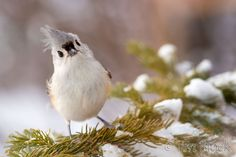 Jim Block Photography | Tufted Titmouse