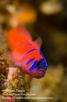 Bluebanded Goby | Flickr - Photo Sharing!