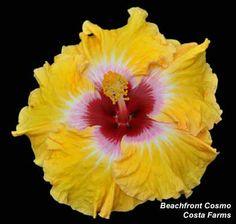 36 Best Braided Hibiscus Flowers Images Hibiscus Flowers Hibiscus