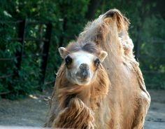 Camel, Animals, Animales, Animaux, Animal Memes, Animal, Animais, Bactrian Camel, Dieren