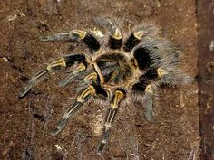Chaco Golden Knee Tarantula - Grammastola pulchripes - This tarantula, a burrowing terrestrial species, belongs to the family Theraphosidae. It is found in three countries; Argentina, Paraguay and Uruguay Pet Tarantula, Pet Spider, Exotic Pets, Spiders, Big Cats, Science Nature, Reptiles, Bugs, Insects