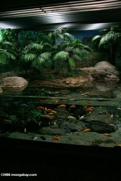 Picture: Malawi mbuna cichlid aquarium.