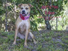 EDEN - URGENT - located at Manatee County Animal Services in Palmetto, Florida - Adult Spayed Female Hound/Pit Bull Mix - AT SHELTER SINCE DECEMBER 2, 2015! - Eager to please and loves to learn. knows sit, double paw and down. Very friendly and playful! Loves her toys.