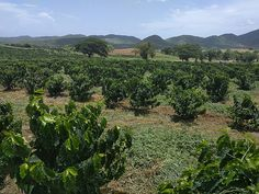 Too Hot for Coffee! Warming Temperatures in Puerto Rico Present a Challenge to Coffee Growers