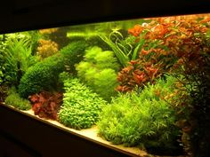 Prachtige Hollandse bak  Orgineel: Lush. Dutch style planted aquarium