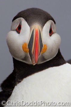 Atlantic Puffin CLOWN OF THE SEA!  What amazing color and markings and what a cool name:)..e