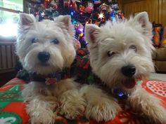 Happy #TerrierTuesday!  Check out our holiday polishes at https://www.etsy.com/shop/TawdryTerrier. #tawdryterrier #westie #dog #puppy #westhighlandwhiteterrier #christmas #christmastree #terrier