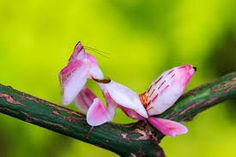 Hymenopus coroantus
