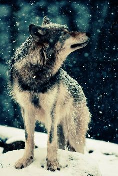 Wolf in snow- such beautiful creatures.