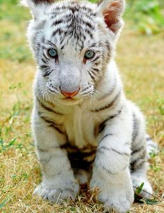 white tiger cub ... this animal is under risk of total extinction due to illegal hunting!