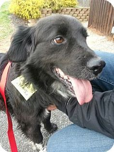 Sparta, NJ - Border Collie/Flat-Coated Retriever Mix. Meet Joseph a Dog for Adoption.