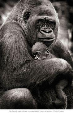 © Sébastien Meys Maman gorille tenant son bébé dans les bras
