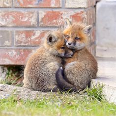 Tiny fox cubs cuddling together, maybe waiting for Mom ❣ Tiny fox cub. - Tiny fox cubs cuddling together, maybe waiting for Mom ❣ Tiny fox cubs cuddling together - Cute Creatures, Beautiful Creatures, Animals Beautiful, Cute Baby Animals, Animals And Pets, Funny Animals, Fuchs Baby, Fox Boy, Cute Fox