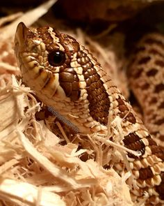 cleotheworm:  Looking mighty fine there, Cleo    #westernhognosesnake…