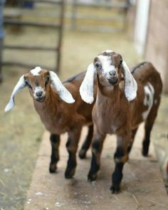 2 Kids Goat Farm Nubian Goat, Cute Goats, Sheep And Lamb, Goat Farming, Baby Goats, Lambs, Dwarf, Country Life, Adorable Animals