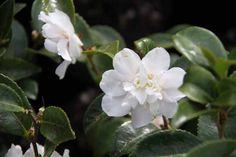 Camellia_White_Jenny Camellia, Shrubs, Nursery, Plants, Baby Room, Shrub, Child Room, Plant, Babies Rooms