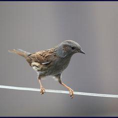 Heggemus. Jaargast in onze tuin. Pretty Birds, Beautiful Birds, Animals Beautiful, Cute Animals, Birds Flying Away, Birds In Flight, Parus Major, Sparrow Bird, Bird Gif