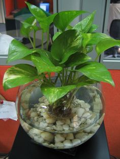 Devil's Ivy in fish bowl. Maybe not in a fishbowl, but I like the idea of a condensed plant. Devil's Ivy in fish bowl. Maybe not in a fishbowl, but I like the idea of a condensed plant. Water Plants Indoor, Plants Grown In Water, Aquatic Plants, Indoor Garden, Ivy Plant Indoor, Inside Plants, Ivy Plants, Hydroponic Plants, Aquaponics