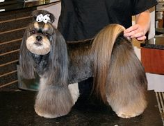 Asian Style Lhasa Groomer to Groomer – Pet Grooming News, Stories, and Videos Dog Grooming Styles, Dog Grooming Salons, Grooming Shop, Cat Grooming, Lhasa Apso, Cat Haircut, Dog Haircuts, Dog Hairstyles, Perro Shih Tzu