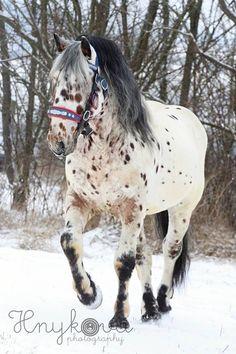 Noric Stallion Aneta Hnyková (amatérská fotografka) Coração de um cavalo