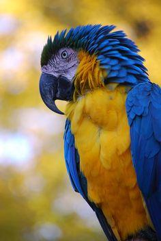Blue-and-yellow Macaw (Ara ararauna).
