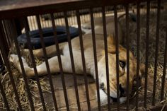 A former circus lion lies inside a cage at a temporary refuge in Lima, Peru, Friday, Nov. 7, 2014. Animal Defenders International (ADI) and Peruvian authorities helped rescue 21 lions in Peru from various traveling circuses. Once other rescued felines are brought to Peru from Colombia and Argentina, a total of 44 felines will be taken to the Wild Animal Sanctuary in Denver, in the US State of Colorado at the beginning of 2015. In Peru it's illegal to use wild animals in the circus. (AP ...