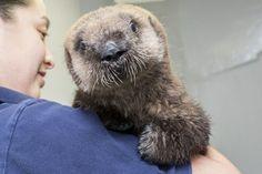 Sea Otter Pup 681/ Luna at the Shedd Aquarium.  Look at that face!