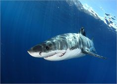 {Say NO to FINNING} It's no secret that great white sharks occasionally bite and, on occasion, kill people, but man is a far greater threat to this species than vice versa. Great white sharks are listed as vulnerable to extinction.