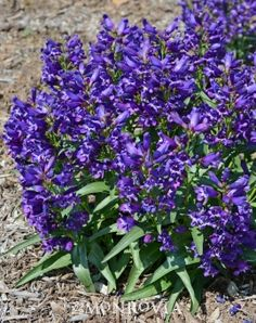 Monrovia's Rock Candy™ Purple Penstemon details and information. Learn more about Monrovia plants and best practices for best possible plant performance.