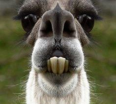 Lama ( laughed for 20min!!)