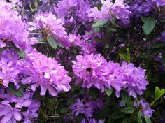 Bee on Rhododendrons 3