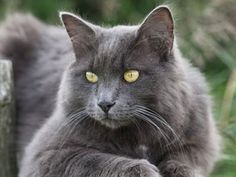 Nebelung cats are lively, playful, affectionate, good-natured, and intelligent. Origin: United States. Life span: 11-16 years. Hypoallergenic: No. Popularity (2014): #.