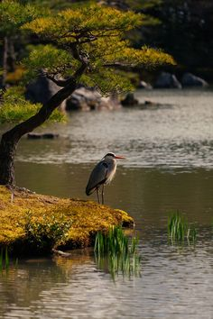 "belas-imagens: "" this-is-wild: (via The heron and the japanese tree by redgreenblue) "" Bird Pictures, Nature Pictures, Beautiful Birds, Beautiful World, Amazing Photography, Nature Photography, Japanese Tree, Pond Life, Wale"