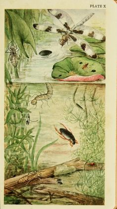 Field book of ponds and streams; an introduction to the life of fresh water, by Ann Haven Morgan  |  1930