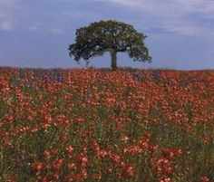 Wild flower field Texas Hill Country