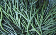 Seaweed.ie :: Chlorophyta